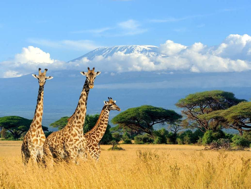 3 giraffes on safari